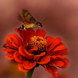 On a red flower by Radu Eftimie - Animals Insects & Spiders ( red, insect, flower )