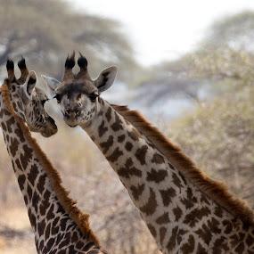 Two Giraffes and A Bird by VAM Photography - Animals Other Mammals ( bird, giraffe, ruaha national park, travel, tanzania, animal,  )