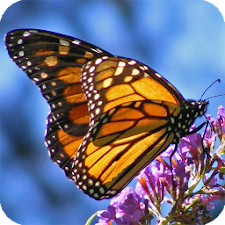 Butterfly HD Live Wallpaper