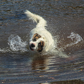 Shaking It Off by Susan Hill - Animals - Dogs Playing ( playing, water, shake, dog, swimming )