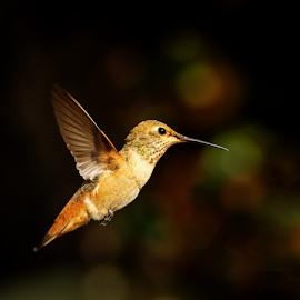 Hummingbird 5A7985 by Ken Wade - Animals Birds ( allen's hummingbird )