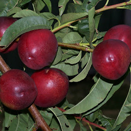 Nectarines by Sarah Harding - Novices Only Flowers & Plants ( plant, fruit, outdoors, novices only, garden )