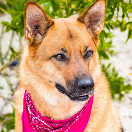Shepherd by Dave Lipchen - Animals - Dogs Portraits ( shepherd )