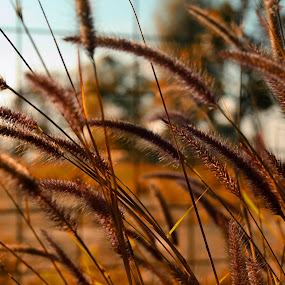 golden fields by Gunarsa Gunarsa - Nature Up Close Other Natural Objects ( nature, weed, fields )