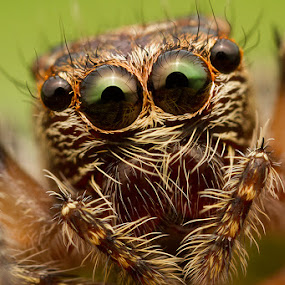 Jumping spider by ธเนศ ขวยไพบูลย์ - Animals Insects & Spiders ( canon, macro, spider )