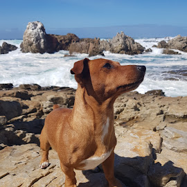 Jimmy on the rocks by Hannetjie de Waal - Animals - Dogs Portraits ( #doglover, #ocean, #mobile, #easterncape, #novice )