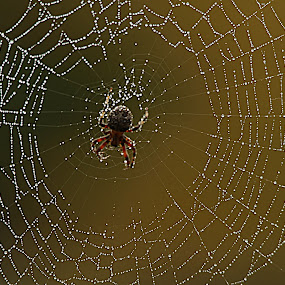 by Cheryl Hudnall Kincaid - Nature Up Close Webs