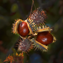 horse chestnut by LADOCKi Elvira - Nature Up Close Trees & Bushes ( nature photo )