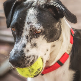 Favorite Toy by Lynn Kirchhoff - Animals - Dogs Portraits ( ball, collar, herding, cattle dog, canine, black and white, dog, mix, rescue, border collie,  )