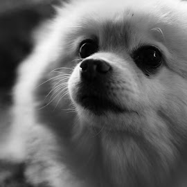 Pomeranian by Andrea Guyton - Animals - Dogs Portraits ( fluffy, shy, dog, portrait, pomeranian )
