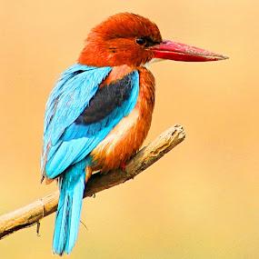 by Vijay Singh - Animals Birds