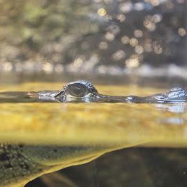 Half Under by Victoria Fenton - Animals Reptiles ( water, aquarium, alligator, gator, photography, portrait,  )
