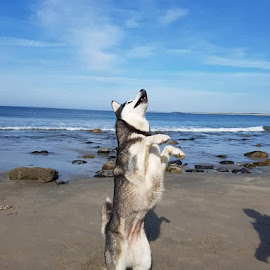 Life's a beach by Jess Glavin - Animals - Dogs Playing ( love, sand, happy, lanscape, outdoor, husky, sea, happiness, fun, beach, dog, sun, animal,  )