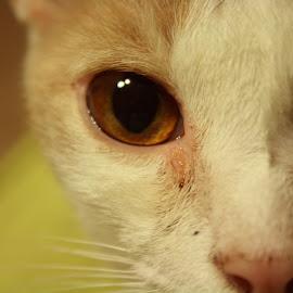 Contemplicity by Sarah Hoskins - Animals - Cats Portraits ( kitten, cat, sad, deep, close up, animal, eyes,  )