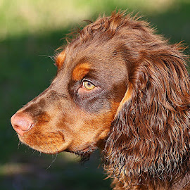 Dax in the Sunshine by Chrissie Barrow - Animals - Dogs Portraits ( ear, cocker spaniel, pet, pup, male, fur, brown, dog, nose, tan, portrait, eye )