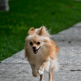 Run, Laika, run by Sergio Yorick - Animals - Dogs Running ( playing, dog, running, pomeranian, animal )