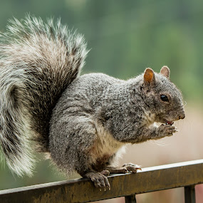 Grey Squirrel by Billy Brooks - Animals Other Mammals ( grey squirrel, mammal, squirrel )