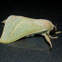 Forest Splendid Ghost Moth - Male