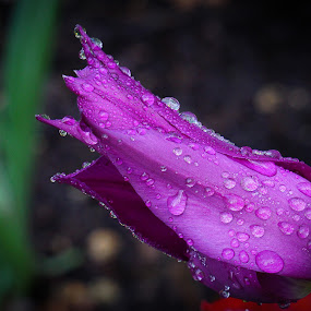Water Drops On A Tulip by VAM Photography - Flowers Single Flower ( plant, water drops, nature, tulip, flower,  )