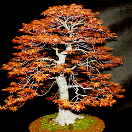 bonsai tree by LADOCKi Elvira - Nature Up Close Trees & Bushes ( tree )