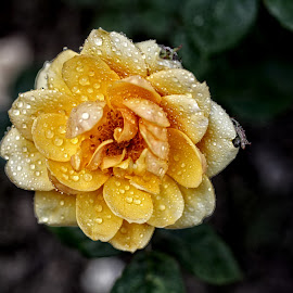 BA rose 45 by Michael Moore - Flowers Single Flower (  )
