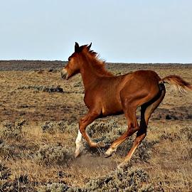 Colt running by Gaylord Mink - Animals Horses ( sagebrush, soral, desert, colt, horse )