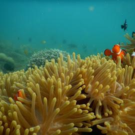 Find nemo by Bogar Kelmaskosu - Animals Fish ( underwater, fish, nemo )