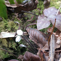 Hepatica (Sharp-lobed Liverleaf)