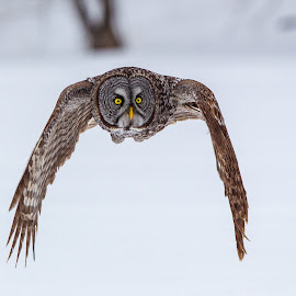 Hey Look I'm a Tie-Fighter by Vince Maidens - Animals Birds ( canon, winter, canada, snow, owl, prey, great grey )