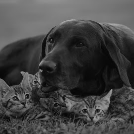 The Great Protector by Rob Ebersole - Animals - Cats Kittens ( labrador bengal kittens lab )