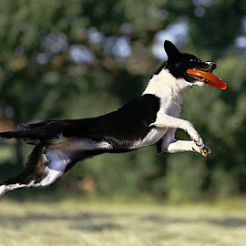 Caught It! by Chrissie Barrow - Animals - Dogs Playing ( playing, border collie, jumping, pet, white, fur, legs, dog, black, frisbee )