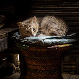 Comfortably in by Akashneel Banerjee - Animals - Cats Portraits ( composition, light, cat, portrait, eyes )