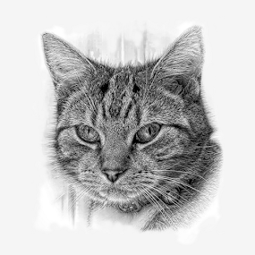 Brea in pencil by Dad by John Cuthbert - Drawing All Drawing ( pencil, sketch, kitten, cat, adored, pet, art, fekine, loved, missed, drawing )