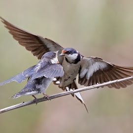 White Throated Swallow by Louis Pretorius - Animals Birds