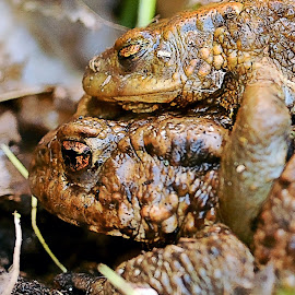 All aboard by Stephen Crawford - Animals Amphibians ( pair, slimy, brown, telephoto, close up, pond, toadds, annbank )