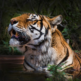 Tiger Bather by Lisa Coletto - Animals Lions, Tigers & Big Cats ( carnivore, tiger, sunbathing tiger, feline, bathing tiger )