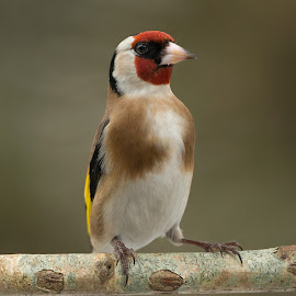 Carduelis carduelis by Dragomir Taborin - Animals Birds