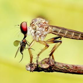 RF Makan by Oren Kaler - Animals Insects & Spiders ( nature, fly, insects, closeup )