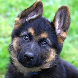 Meet Storm - 11 weeks old by Chrissie Barrow - Animals - Dogs Puppies ( fluffy, pet, german shepherd dog, ears, puppy, dog, nose, cream, tan, black, portrait, eyes )