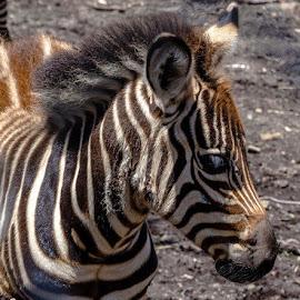 Zebra Foal by Taz Graham - Novices Only Wildlife