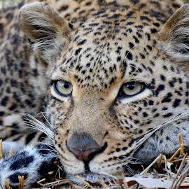 Reflections of a Leopardess by Sean de la Harpe-Parker - Animals Lions, Tigers & Big Cats ( big cat, predator, big cats, south africa, wildlife, kruger, leopard )