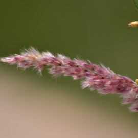 grass blade by Donovan Bornman - Nature Up Close Leaves & Grasses ( grasses, colorful, macro photography, close up, soft )