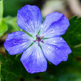 Geranium Rozanne by Mel Stratton - Flowers Single Flower ( plant, rozanne, geranium, geranium rozanne, flower,  )