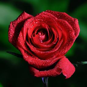 by Skip Spurgeon - Flowers Single Flower ( red flower, red rose )