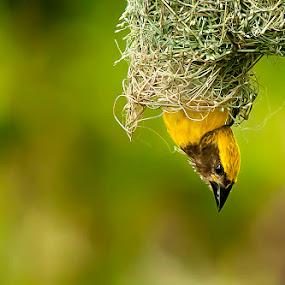 Hang on!! by Masood Hussain - Animals Birds ( baya weaver, nature, nest, wildlife, birds )