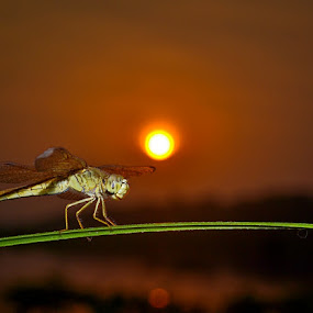 Dragonfly & Sunrise by Juang Rahmadillah - Animals Insects & Spiders ( macro, indonesia, sunrise, insect, nikon )