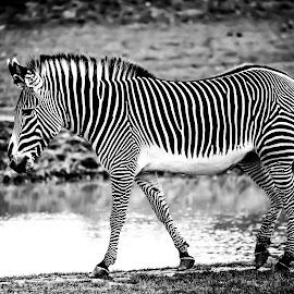 Zebra by Bearded Egg - Uncategorized All Uncategorized ( animals, yorkshire wildlife park, nature, wildlife, animal )
