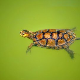 LITTLE TURTLE by Paula Guerra - Animals Sea Creatures ( water, sea, turtle, animal,  )