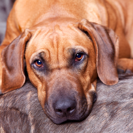 Ridgeback on Sofa by Linda Johnstone - Animals - Dogs Portraits ( ridgeback, rhodesian ridgeback, wilderbeast, dog portrait, portrait )