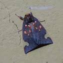Melese (Tiger) Moth